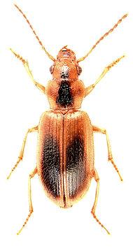 Dicheirotrichus gustavii 1.jpg