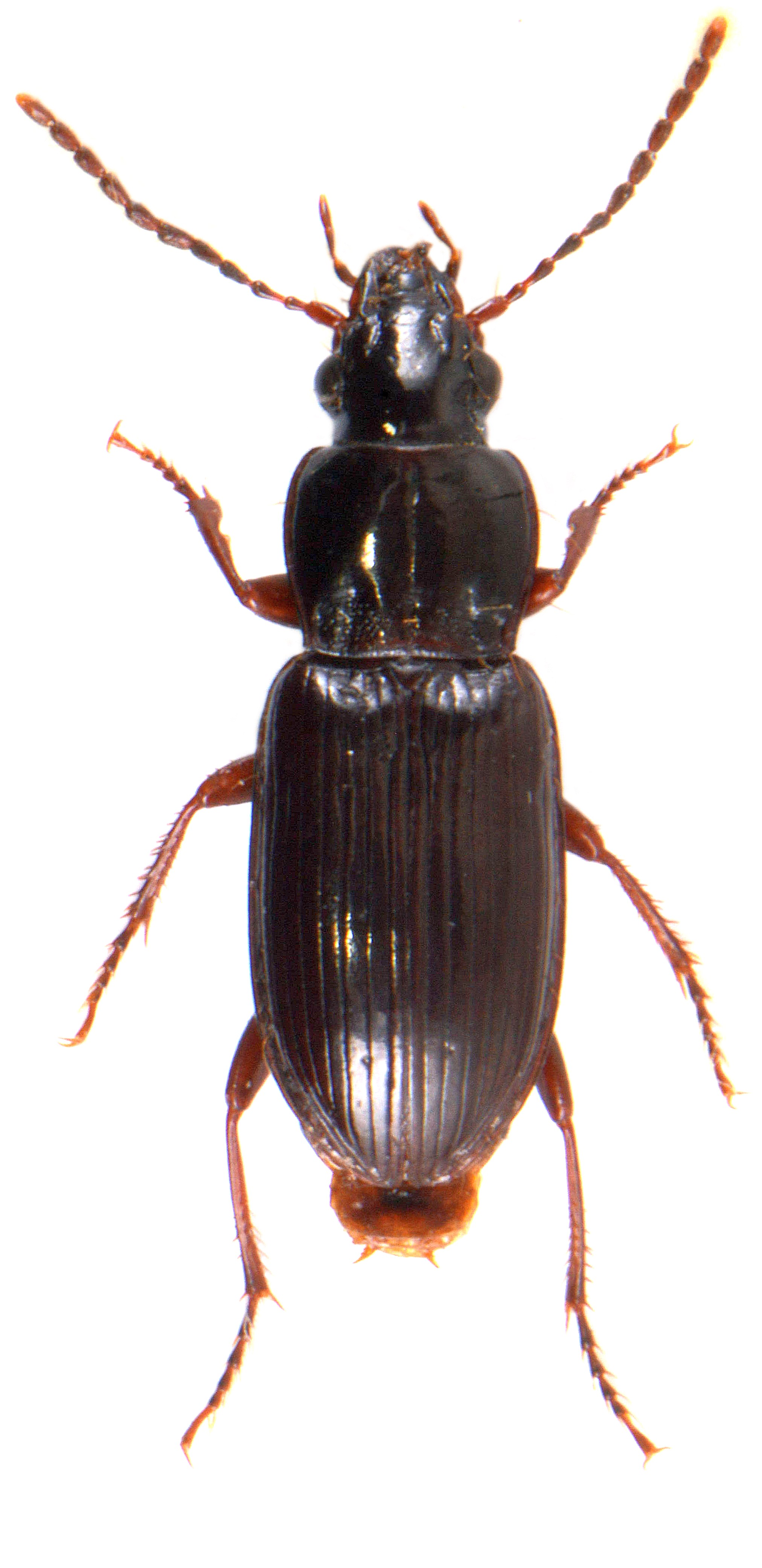 Pterostichus minor 1