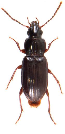 Pterostichus minor 1