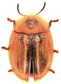 Cassida nobilis.jpg