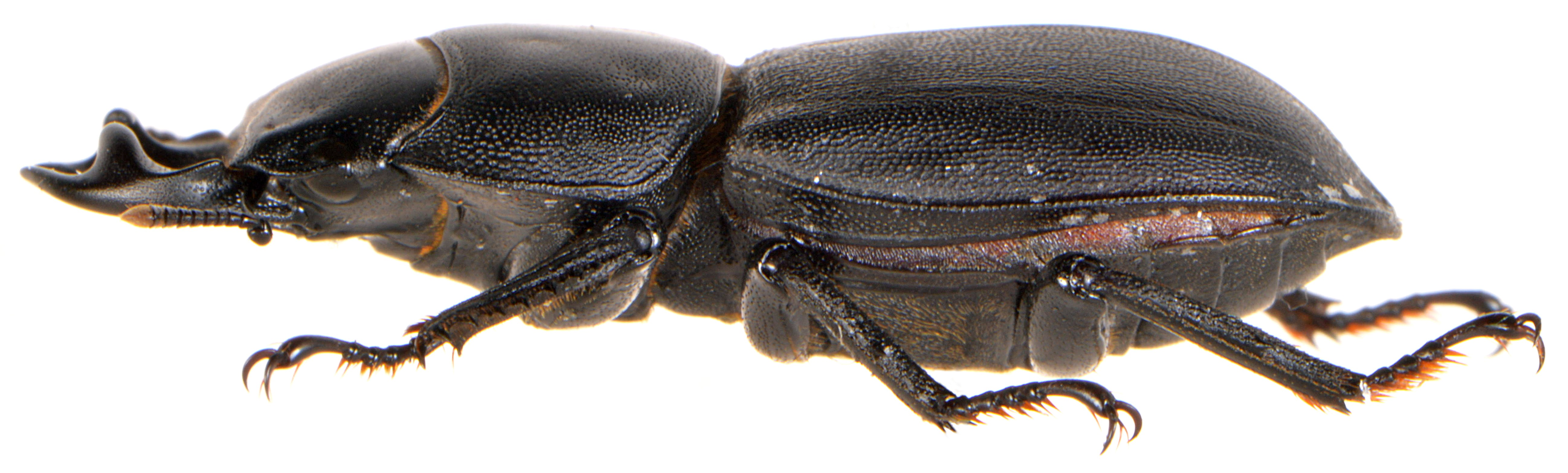 ♂ Side view