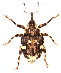 Hadroplontus trimaculatus 1