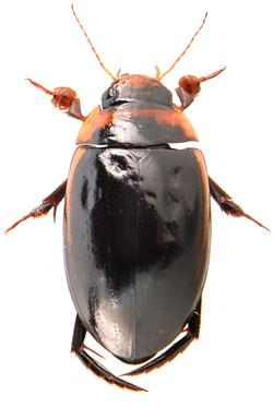 Hydaticus seminiger 4