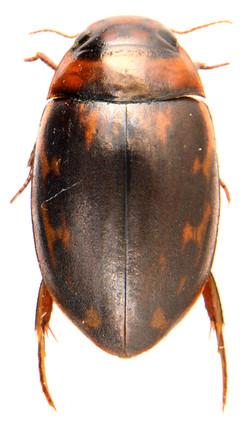 Platambus maculatus 2