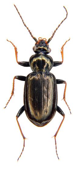Loricera pilicornis 4