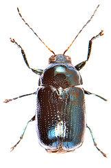 Cryptocephalus parvulus.jpg