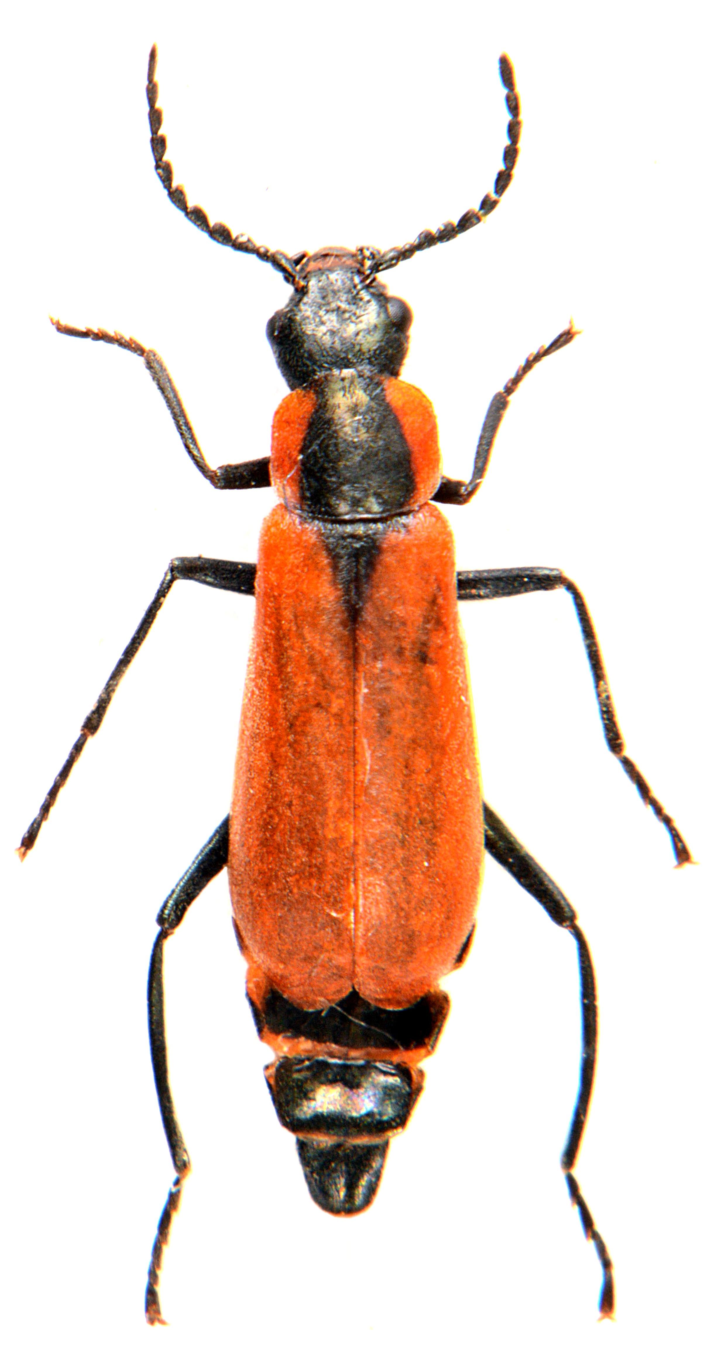 Anthocomus rufus 2