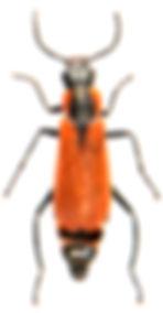 Anthocomus rufus 2.jpg