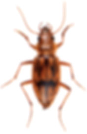 Eurynebria complanata 1.jpg