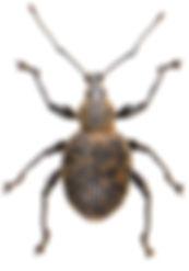 Otiorhynchus armadillo 1.jpg