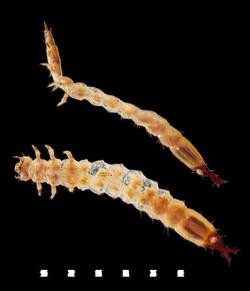 Pediacus dermestoides larva
