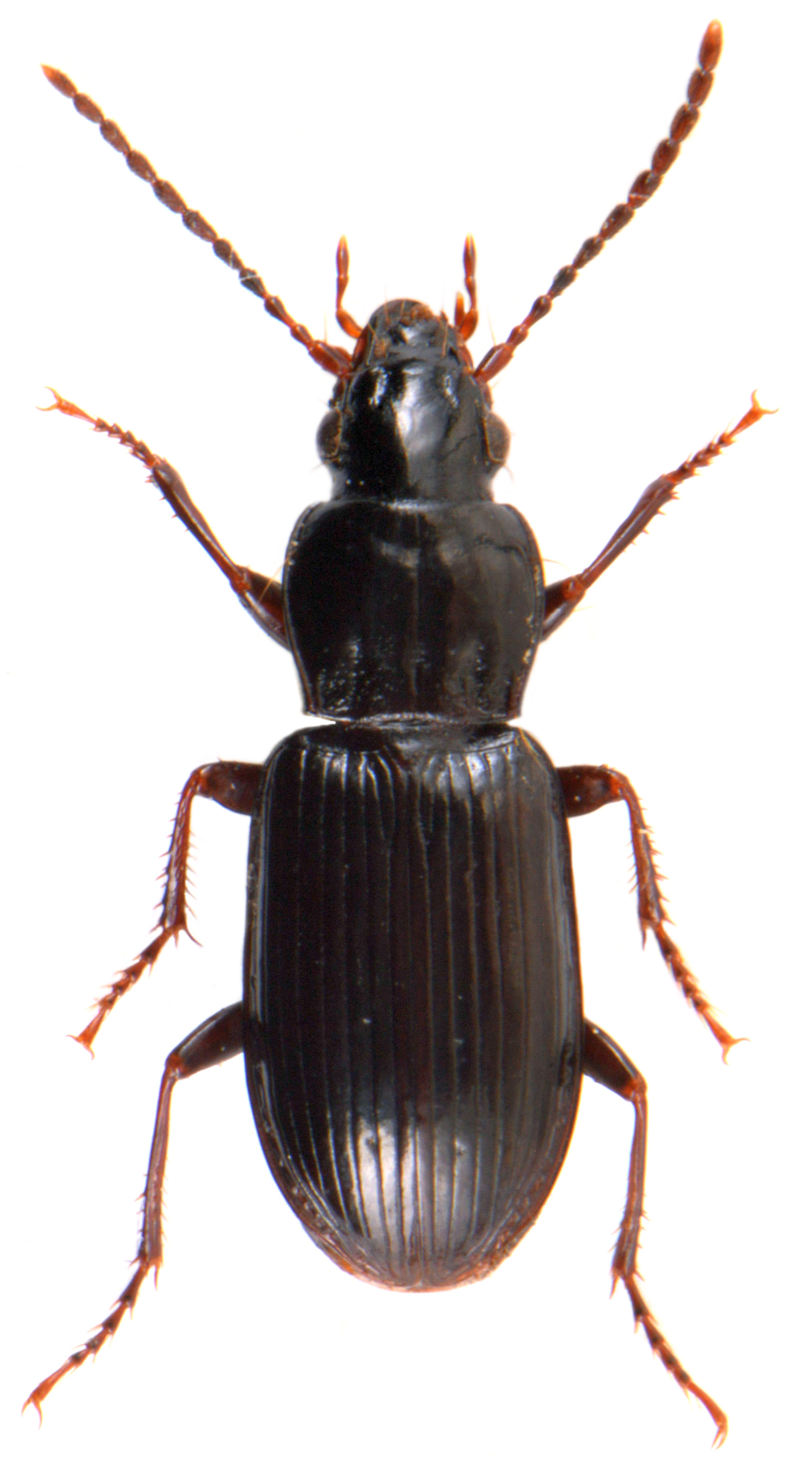 Pterostichus minor 2