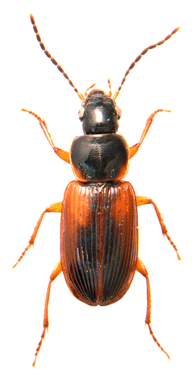 Stenolophus mixtus