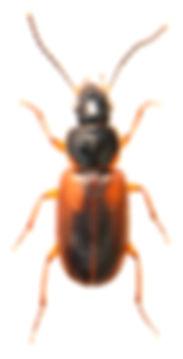 Stenolophus mixtus 1.jpg