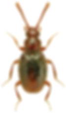 Scydmoraphes helvolus.jpg