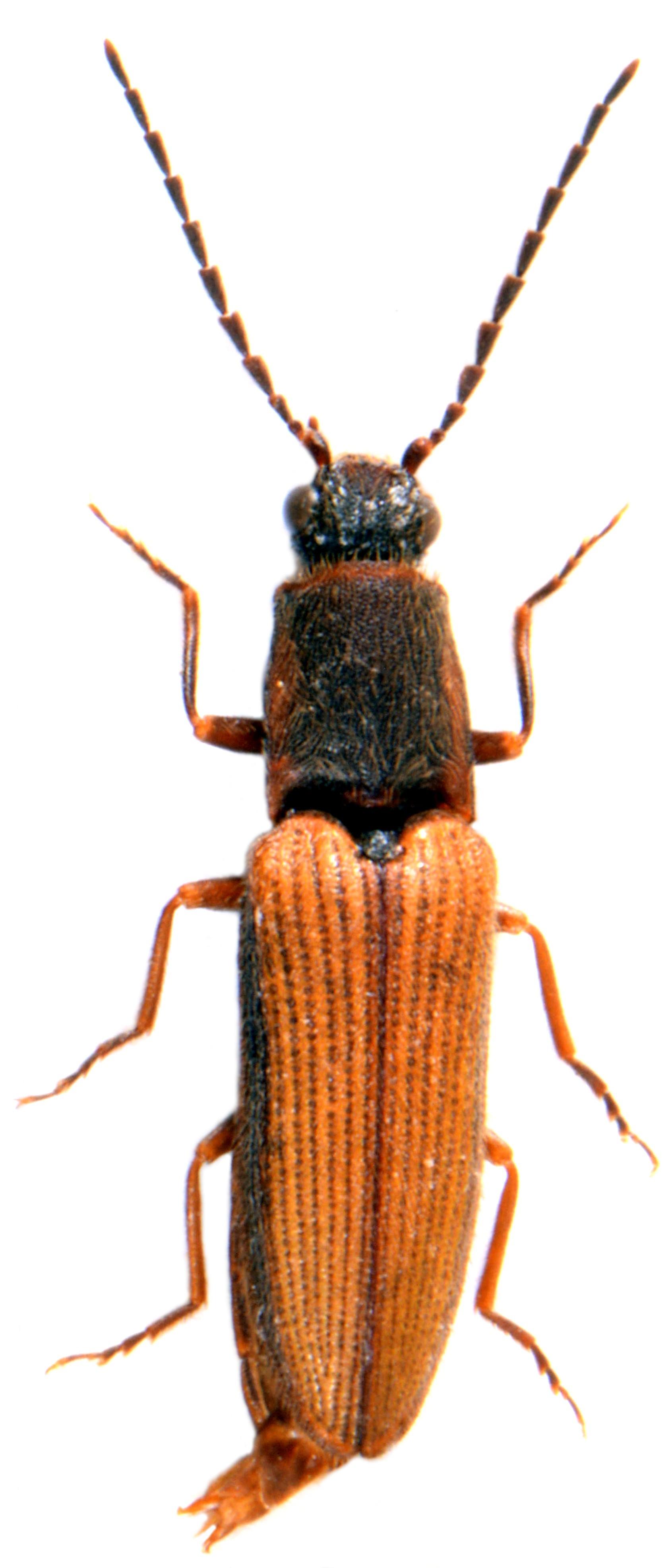 Athous bicolor 1
