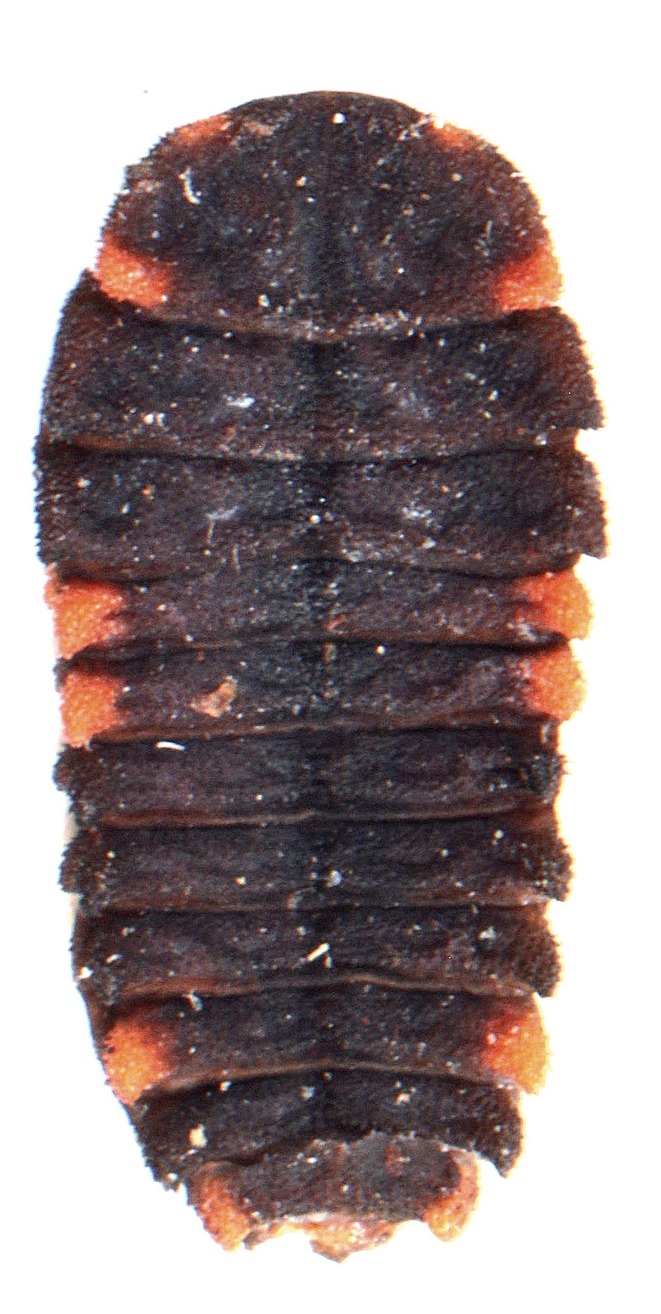 Endomychus coccineus larva