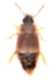 Megarthrus denticollis 1.jpg