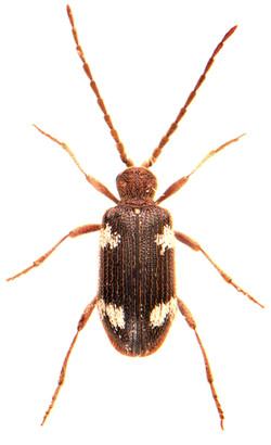Ptinus sexpunctatus 2