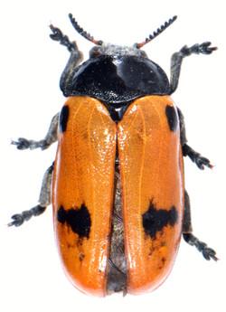 Clytra quadripunctata 2