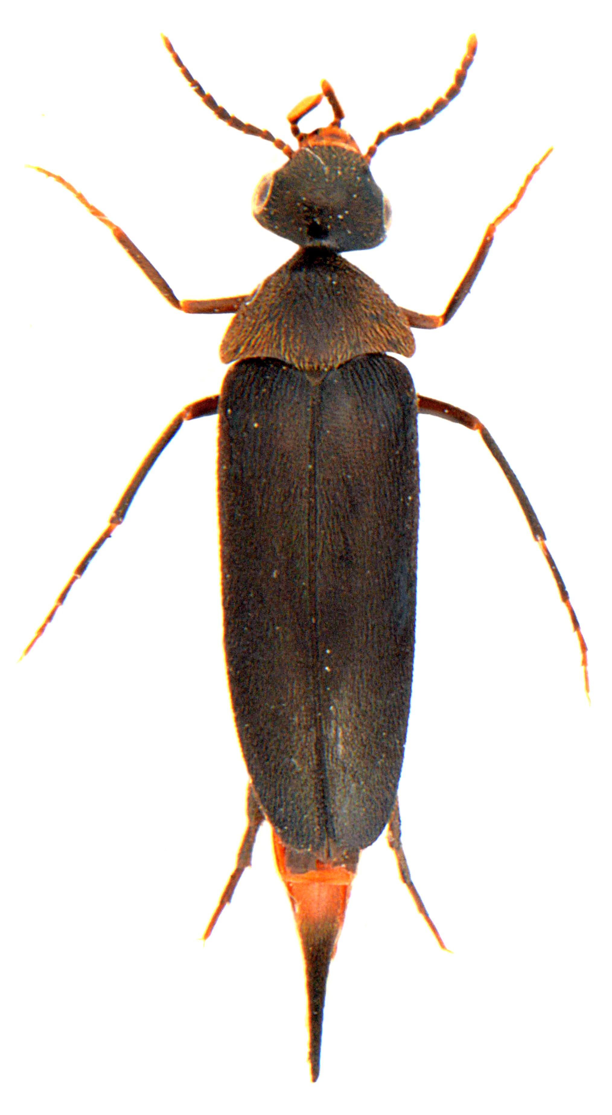 Mordellochroa abdominalis 2