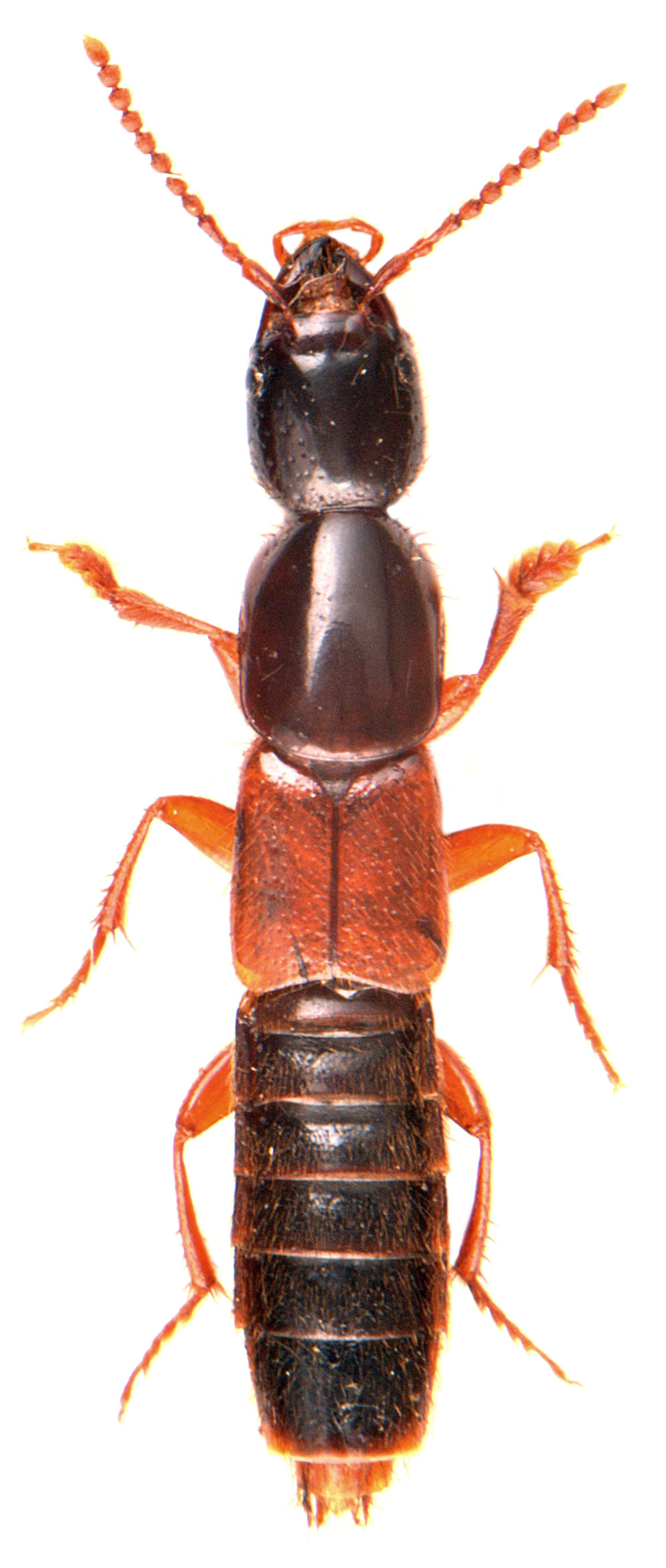 Othius punctulatus 4