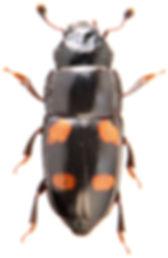 Glischrochilus hortensis 1.jpg