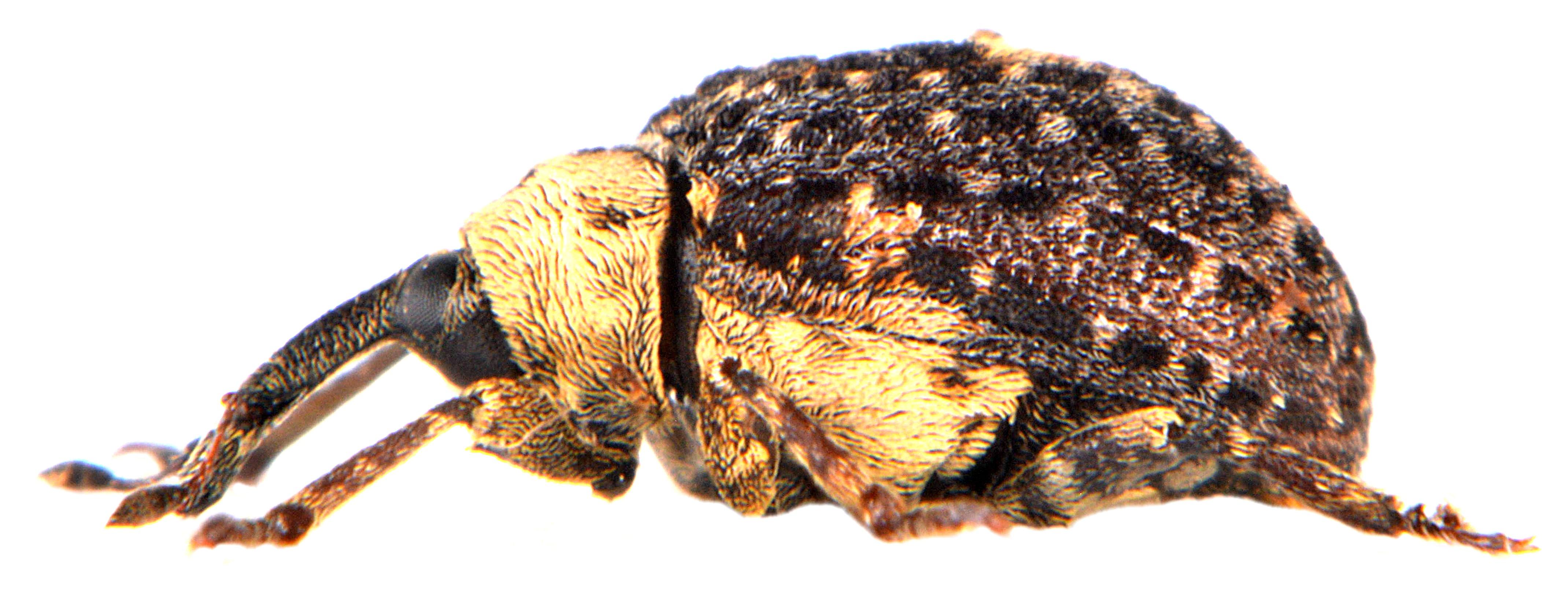 Cionus scrophulariae 4