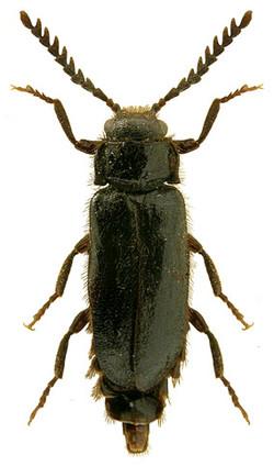 Drilus concolor (Central Europe)