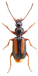 Polistichus connexus.jpg
