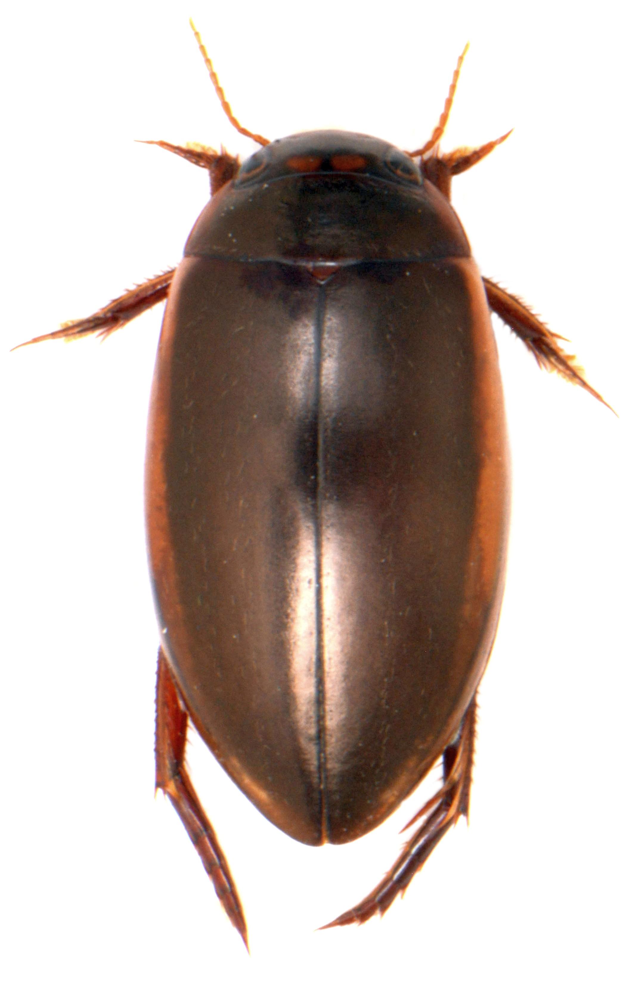 Ilybius fuliginosus ♂