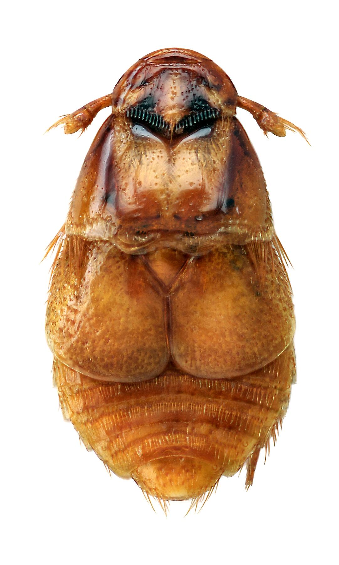 Platypsyllus castoris 3