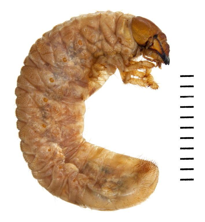 Amphimallon solstitiale larva