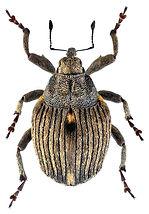 stenocarus_ruficornis_1.jpg