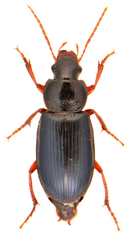 Ophonus ardosiacus 2