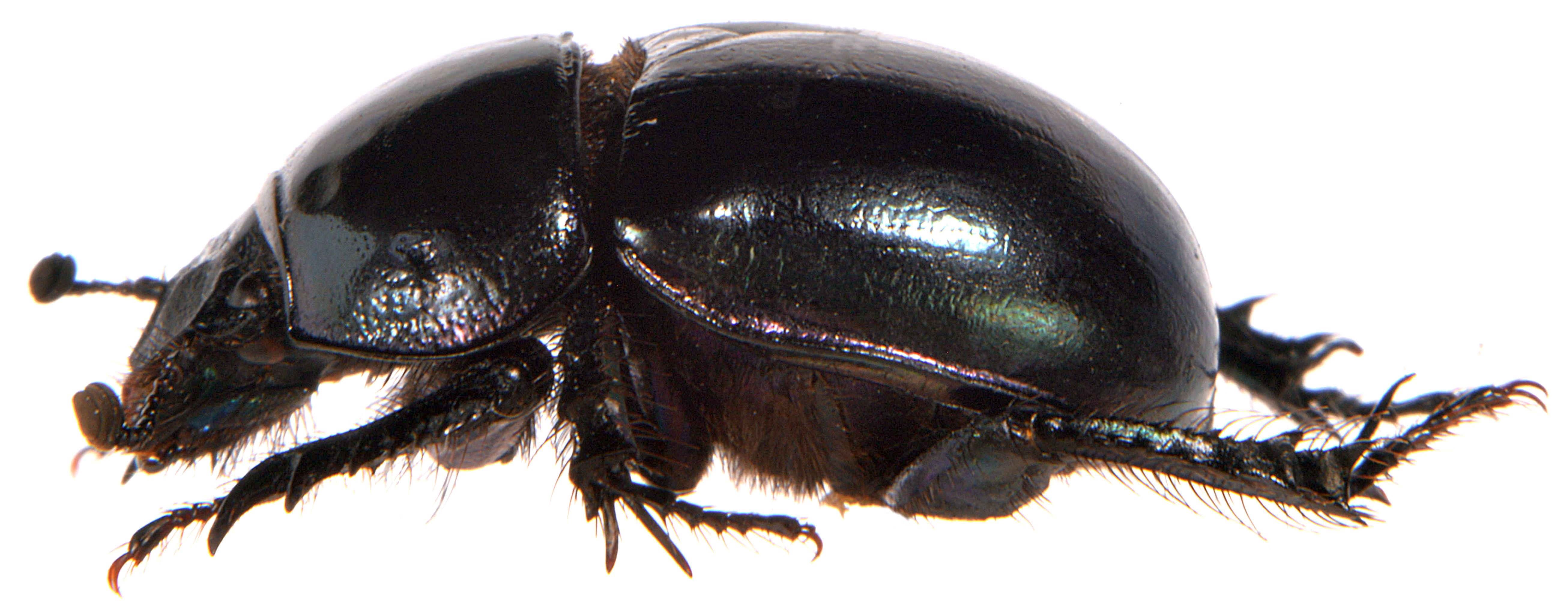 Trypocopris pyrenaeus 3