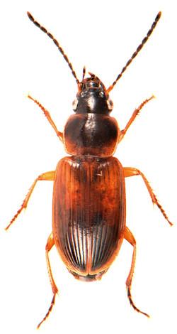 Stenolophus mixtus 3
