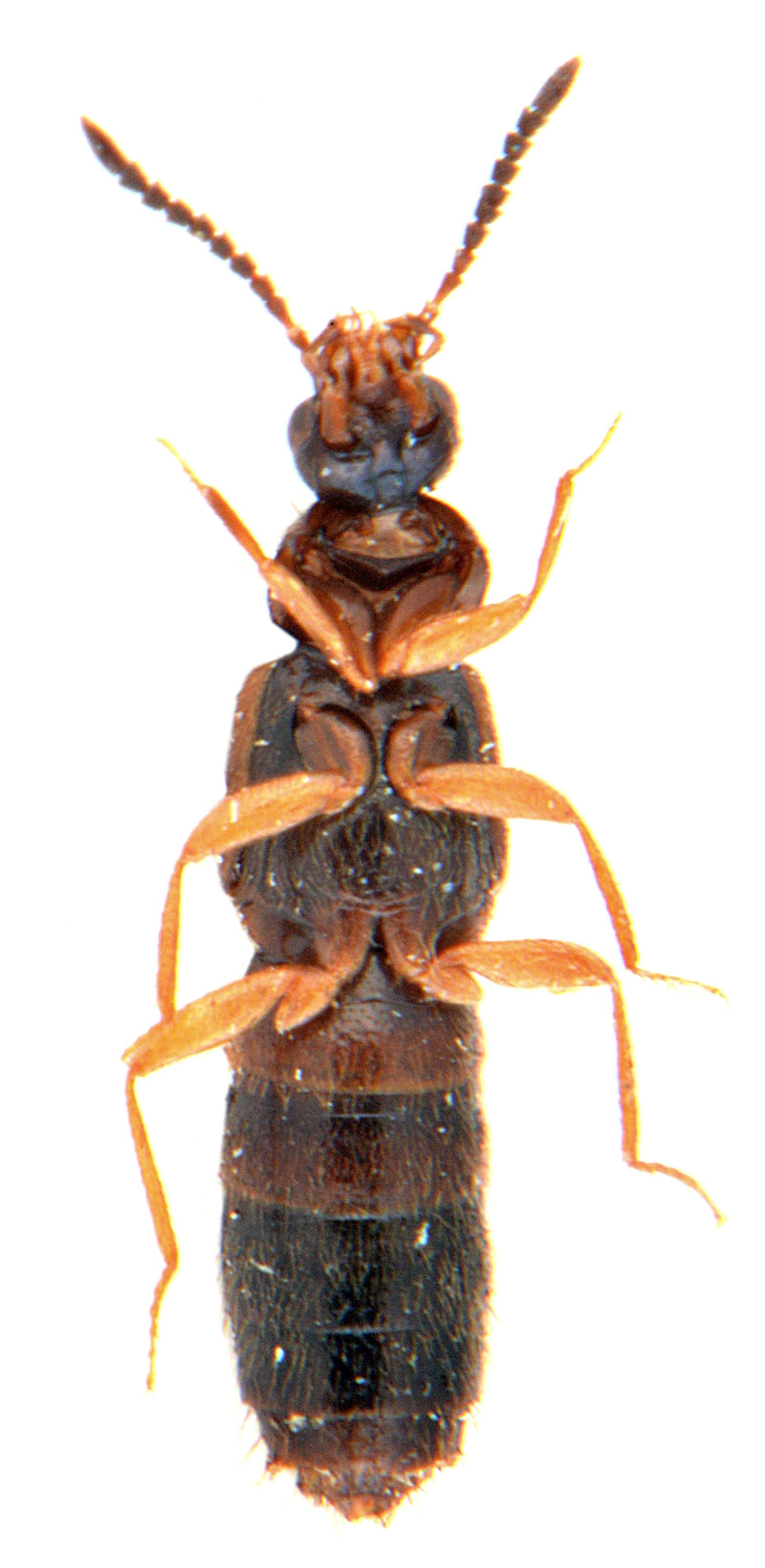 Atheta castanoptera 3