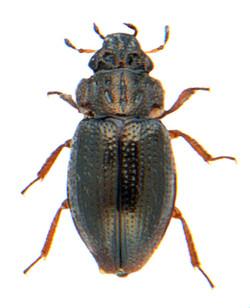 Ochthebius dilatatus