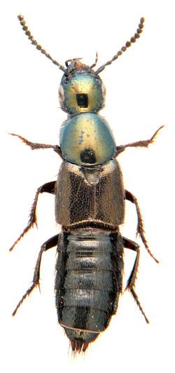 Philonthus intermedius