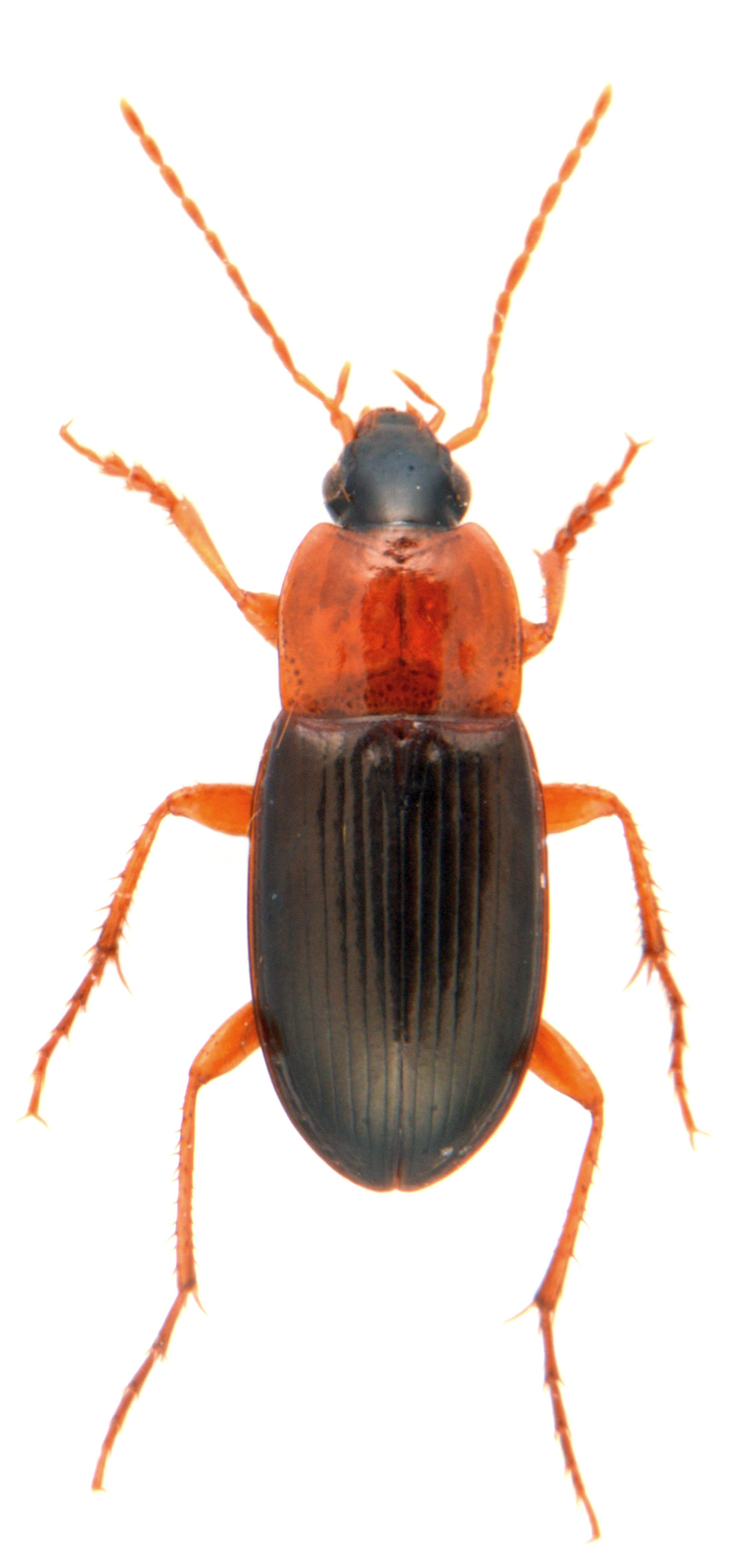 Calathus melanocephalus 1