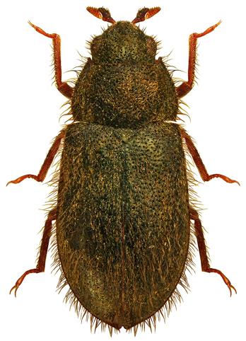 Dryops nitidulus