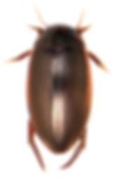 Ilybius fuliginosus 3.jpg