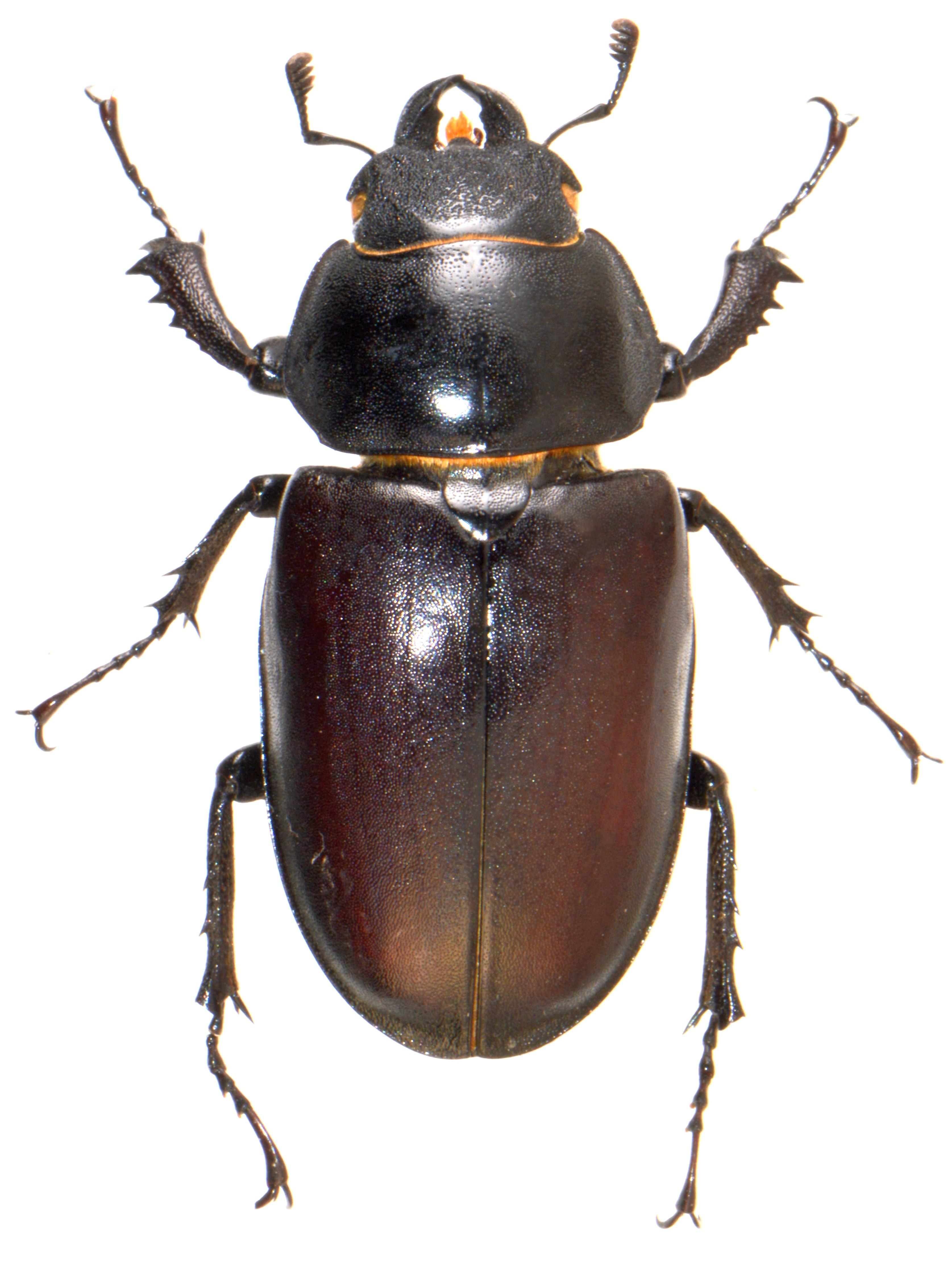 Lucanus cervus ♀