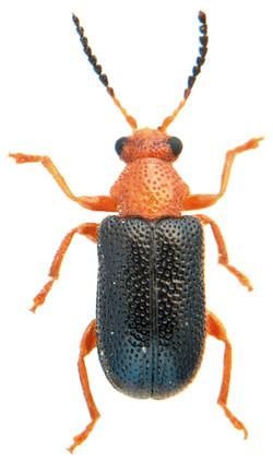 Zeugophora subspinosa 2