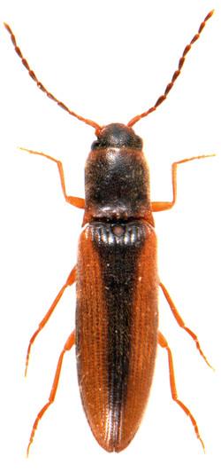 Dalopius marginatus 2