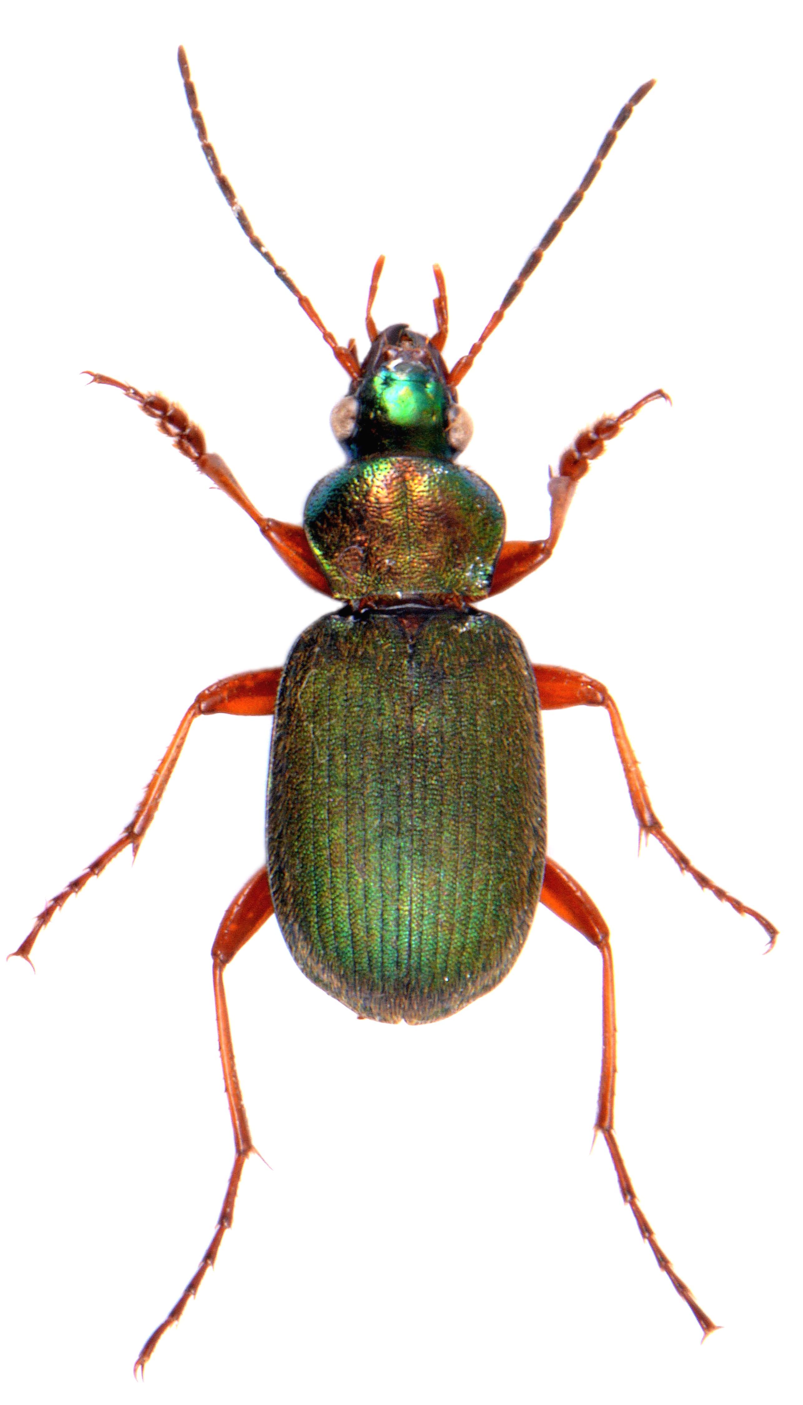 Chlaenius nitidulus 3