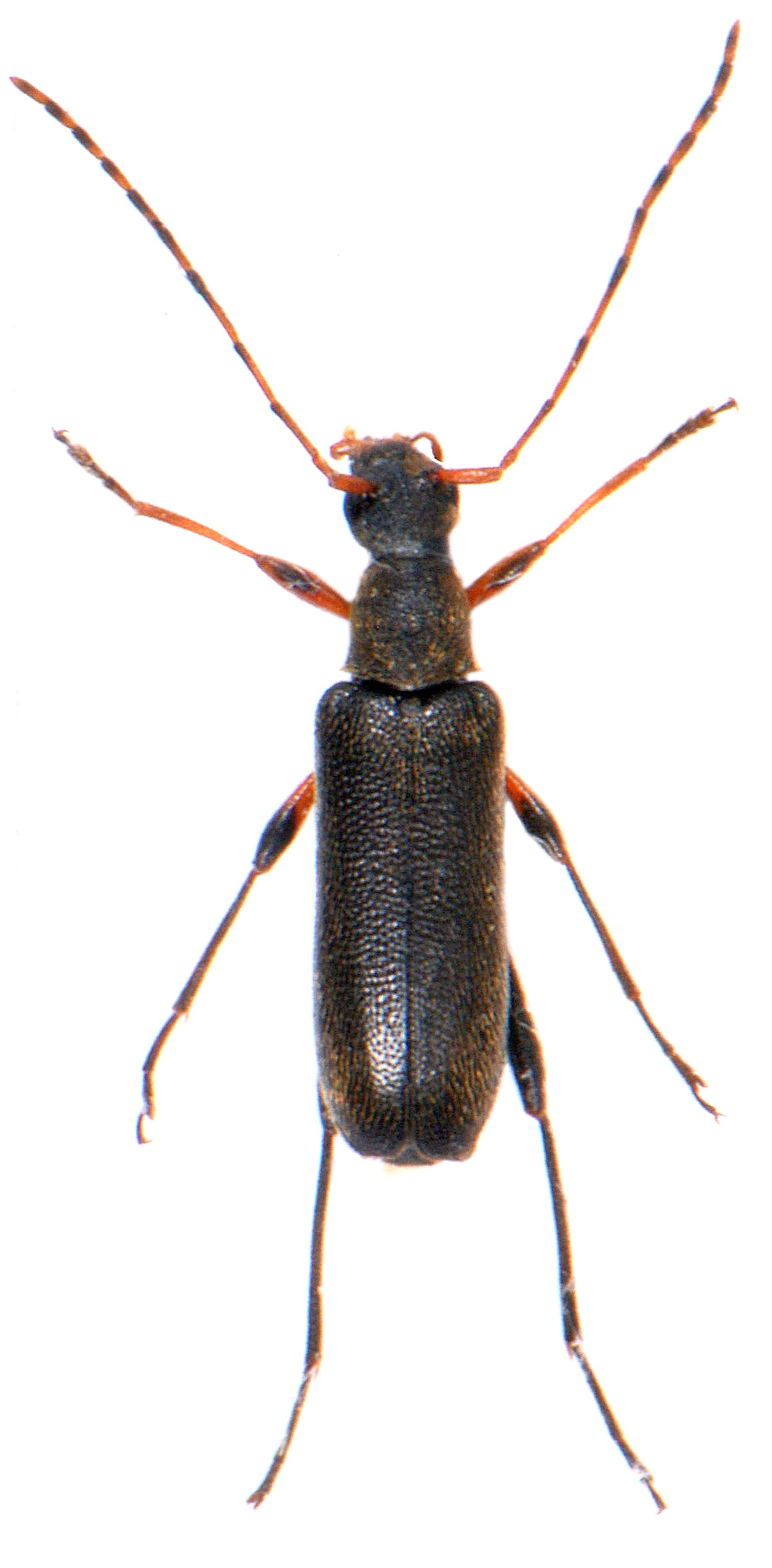 Grammoptera ruficornis 2