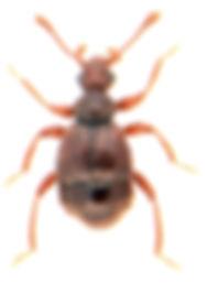 Bryaxis bulbifer 1.jpg