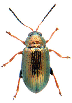 Crepidodera plutus